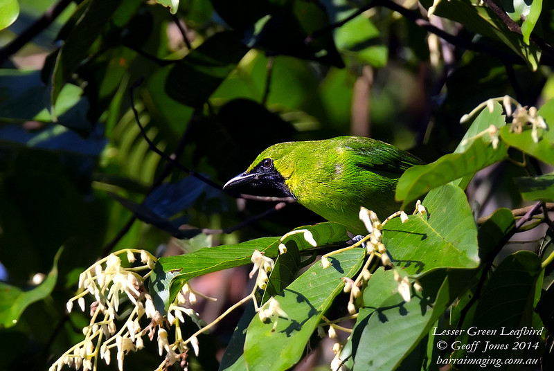 Lesser Green Leafbird Chloropsis cyanopogon Borneo Rainforest Lodge June 2014 BO-LGLB-01