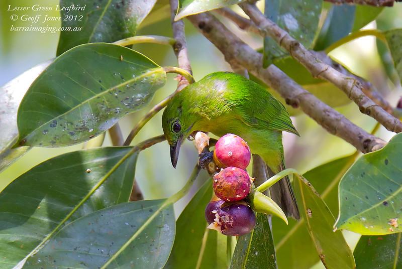 Lesser Green Leafbird Chloropsis cyanopogon Krung Ching Thailand May 2012 TH-LGLB-07