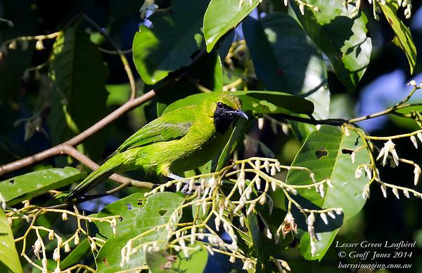 Lesser Green Leafbird Chloropsis cyanopogon Borneo Rainforest Lodge June 2014 BO-LGLB-02