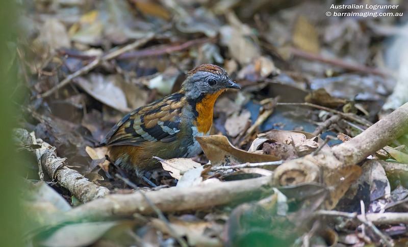 Australian Logrunner female