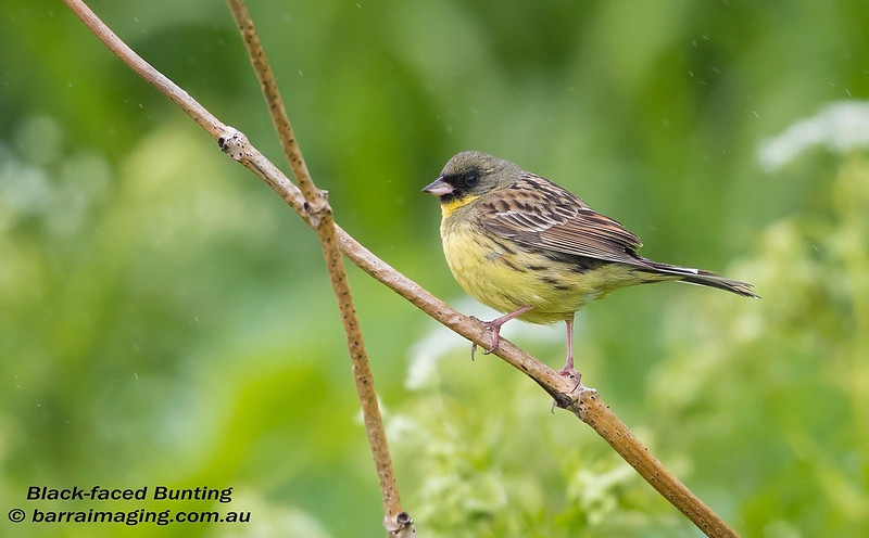 Black-faced Bunting male