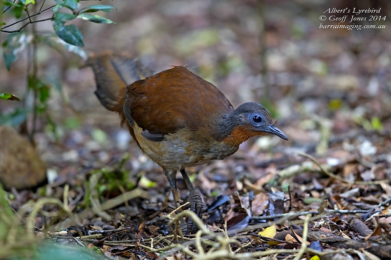 Albert's Lyrebird female