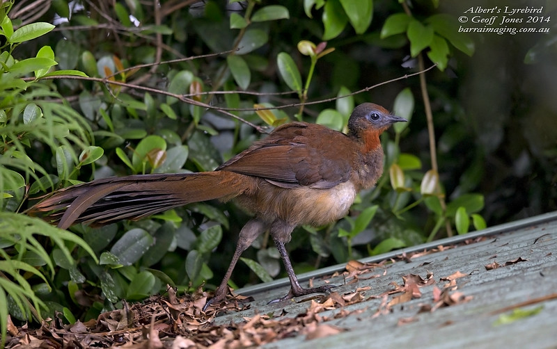 Albert's Lyrebird immature