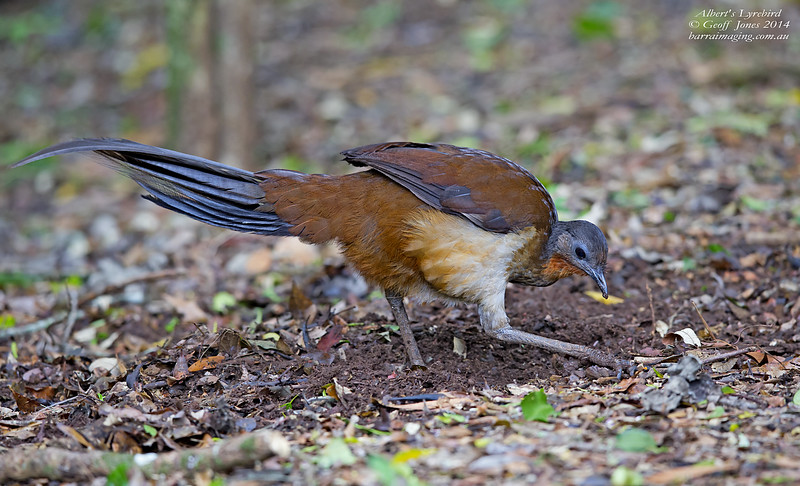 Albert's Lyrebird male