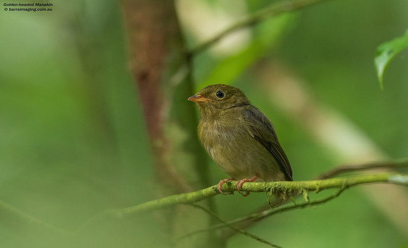 Golden-headed Manakin female