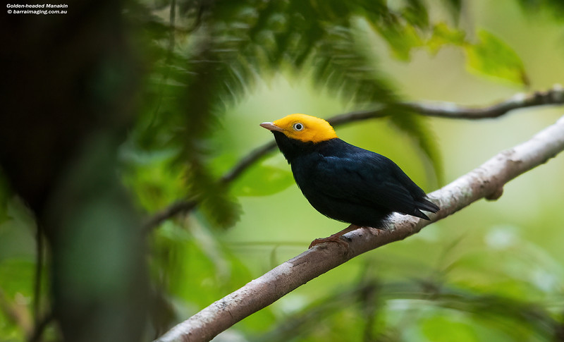 Golden-headed Manakin male