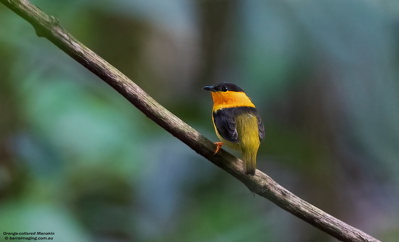 Orange-collared Manakin male