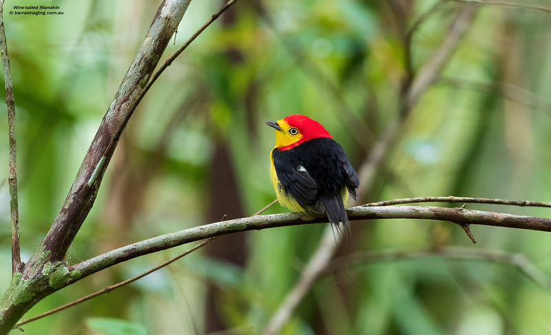 Wire-tailed Manakin male