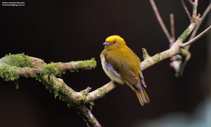 Yellow-headed Manakin male
