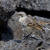 Hood Mockingbird Mimus macdonaldi Hood Island Galapagos June 2010 GAL-HOMB-01