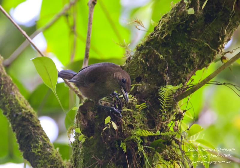 Black-throated Shrikebill Clytorhynchus nigrogularisTaveuni Fiji July 2008 FJ-BTSB-01