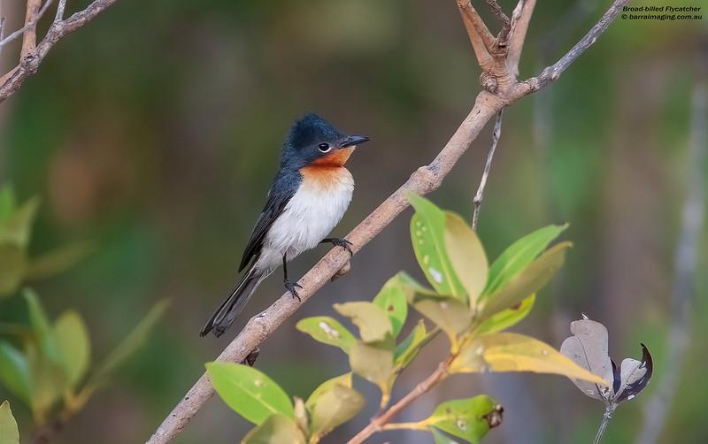 Broad-billed Flycatcher male