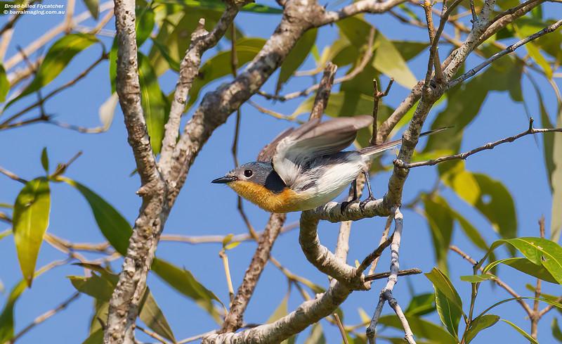 Broad-billed Flycatcher female
