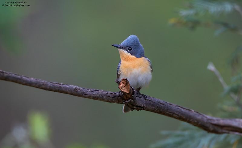 Leaden Flycatcher female