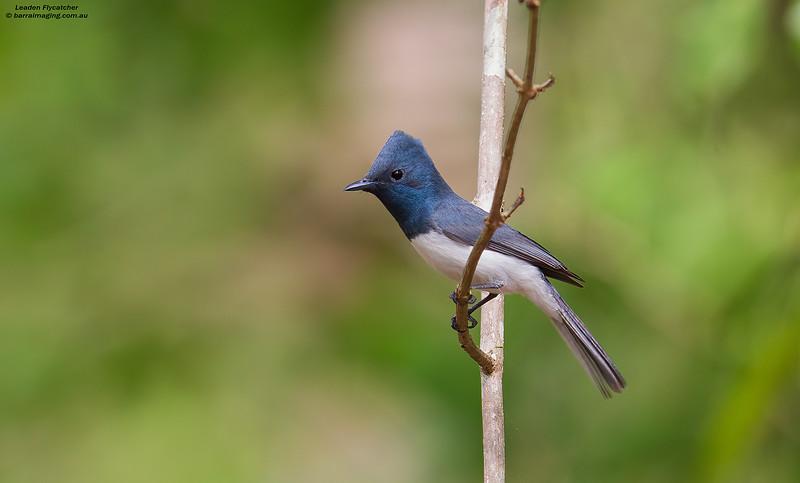 Leaden Flycatcher male
