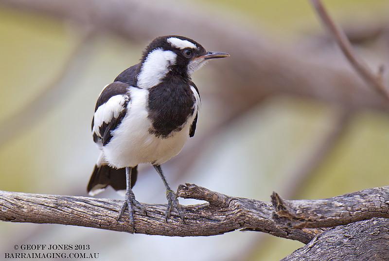 Magpie-lark juvenile