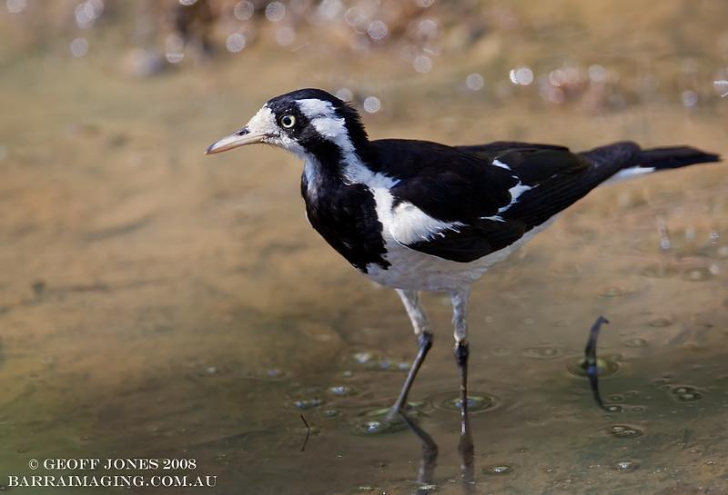 Magpie-lark female