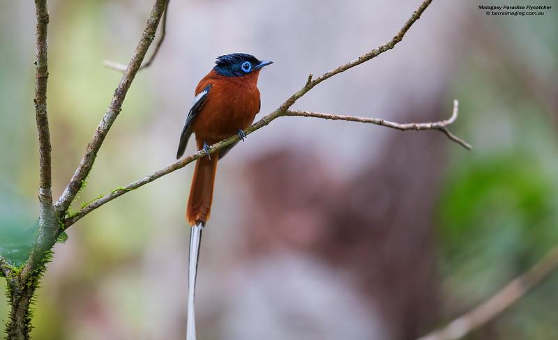 Malagasy Paradise Flycatcher female