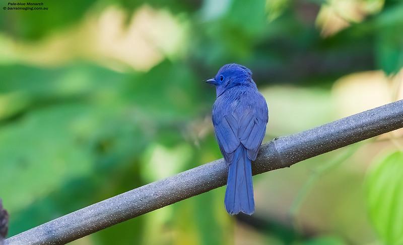 Pale-blue Monarch