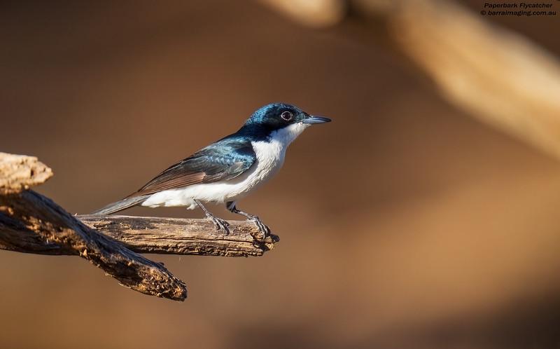 Paperback Flycatcher male
