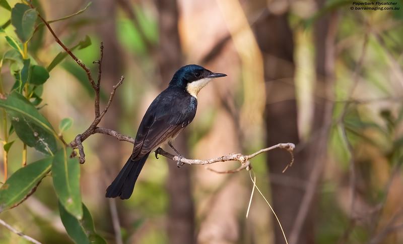 Paperback Flycatcher female