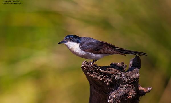 Restless Flycatcher female