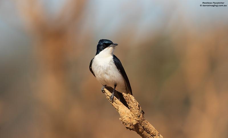 Restless Flycatcher male