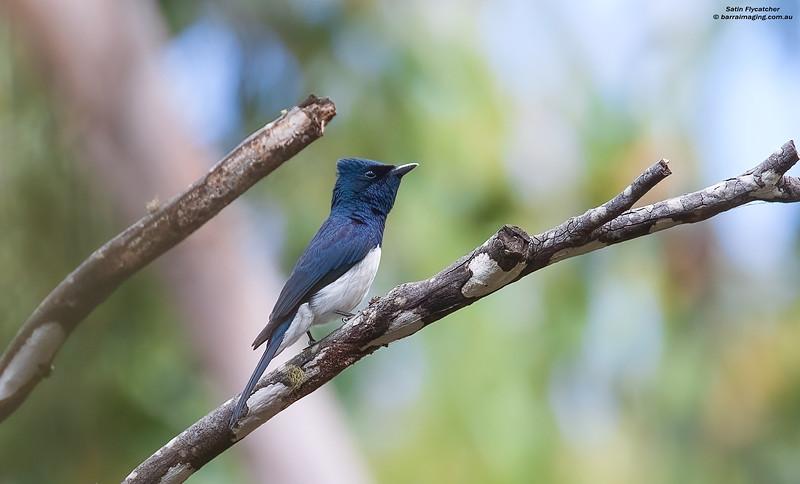 Satin Flycatcher male