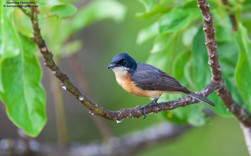 Vanikoro Flycatcher male