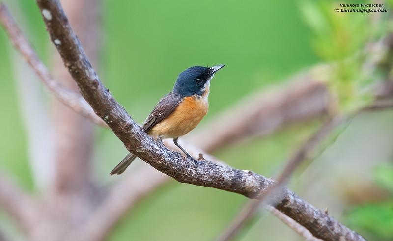 Vanikoro Flycatcher female
