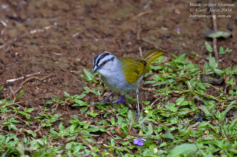 Black-striped Sparrow Arremonops conirostris Rancho Naturalista Costa Rica March 2008 CR-BSSP-01