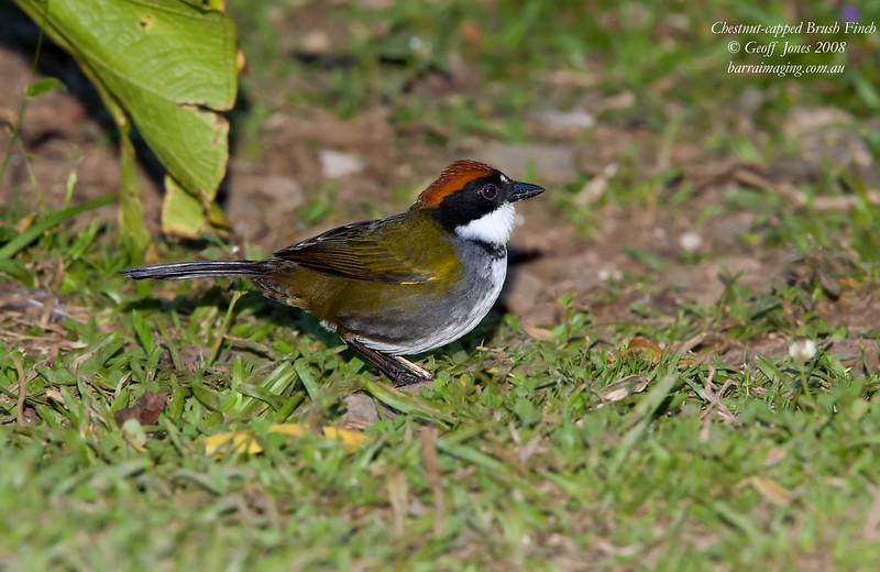 Chestnut-capped Brush Finch Arremon brunneinucha Bosque De Paz Costa Rica March 2008 CR-CCBF-01