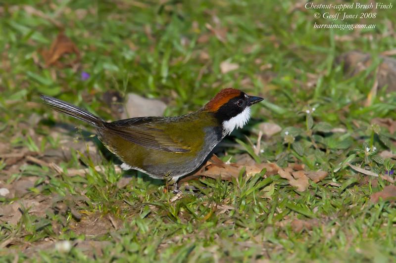 Chestnut-capped Brush Finch Arremon brunneinucha Bosque De Paz Costa Rica March 2008 CR-CCBF-02