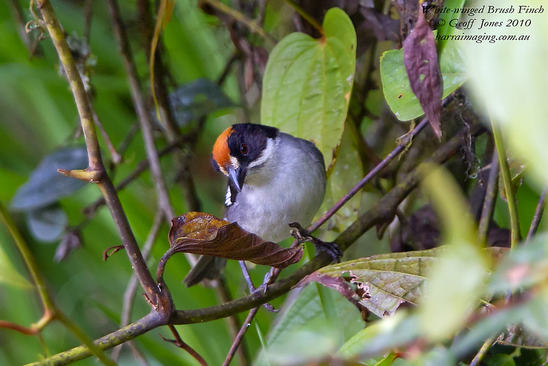 White-winged Brush Finch