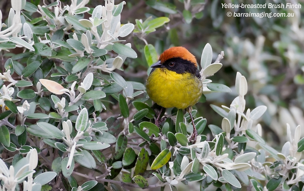 Yellow-breasted Brush Finch