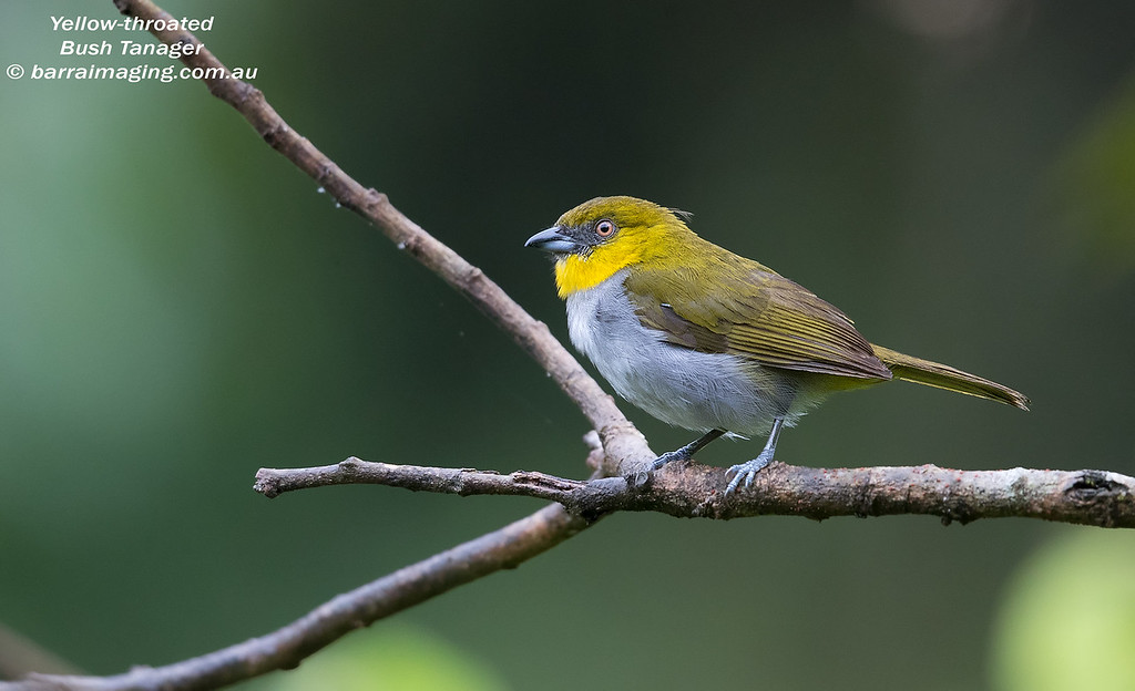 Yellow-throated Bush Tanager
