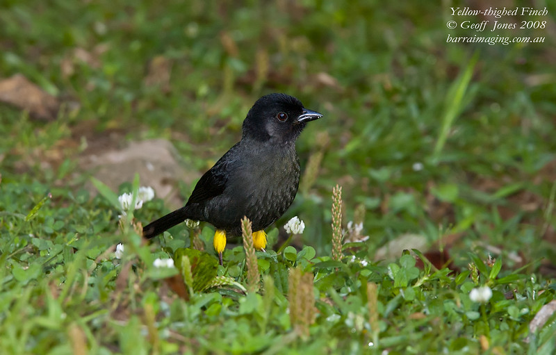 Yellow-thighed Finch Pselliophorus tibialis Bosque De Paz Costa Rica March 2008 CR-WTFI-01