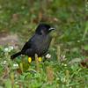 Yellow-thighed Finch Pselliophorus tibialis Bosque De Paz Costa Rica March 2008 CR-WTFI-01