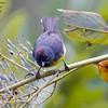 Slate-throated Whitestart Myioborus miniatus Machu Pichu Peru June 2010