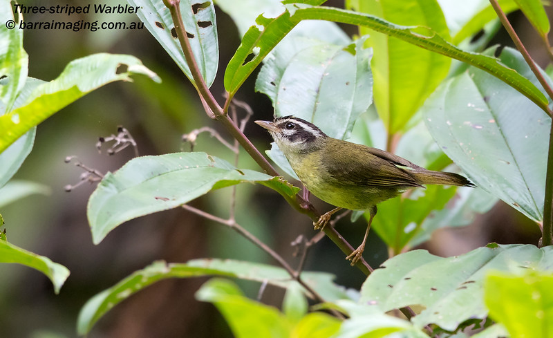 Three-striped Warbler