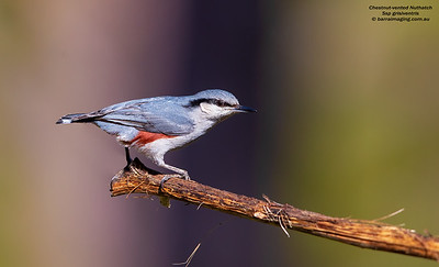 Nuthatches Family Sittidae