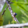 Velvet-fronted Nuthatch Sitta frontalis Borneo Rainforest Lodge June 2014 BO-VFNH-01