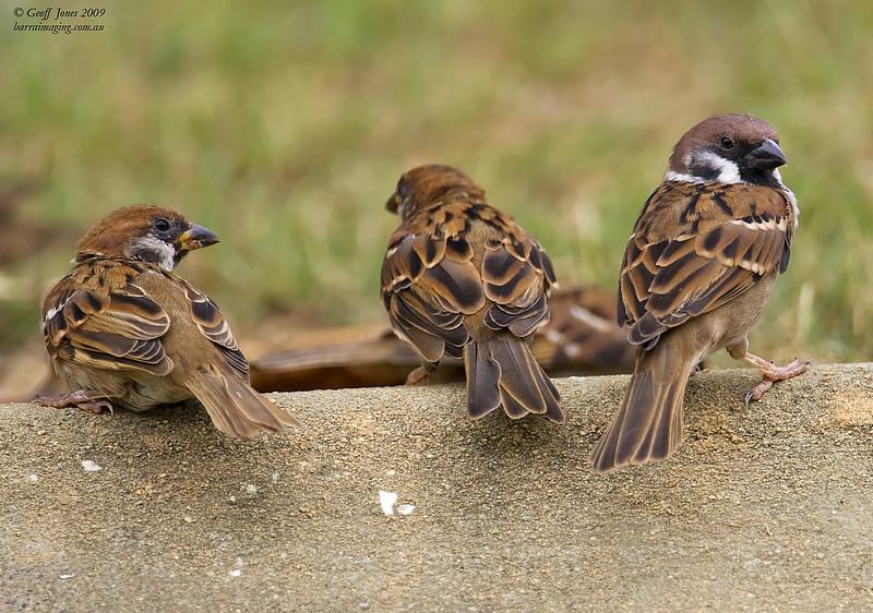 Eurasian Tree Sparrow ( Passer montanus )  Ssp malaccensis AU-EUTS-02 Christmas Island Jan 2010
