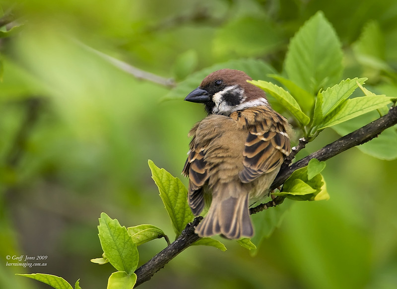 Eurasian Tree Sparrow ( Passer montanus )  Ssp malaccensis AU-EUTS-01 Christmas Island Jan 2010