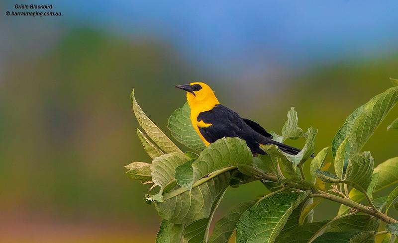 Oriole Blackbird