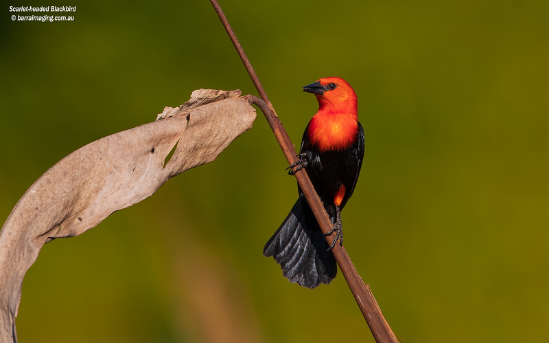 Scarlet-headed Blackbird male