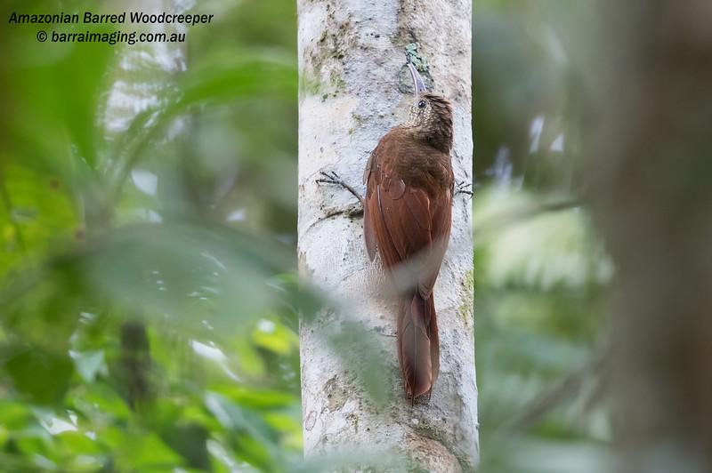 Amazonian Barred Woodcreeper