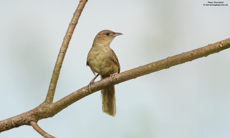Plain Thornbird