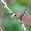 Rufous-fronted Thornbird