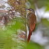 Spot-crowned Woodcreeper Lepidocolaptes affinis Bosque De Paz Costa Rica March 2008 CR-SCWC-01